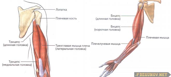 Какие мыщцы в руках и плечах влияют на бег?