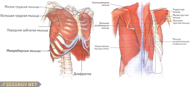 Мышцы верхней части корпуса