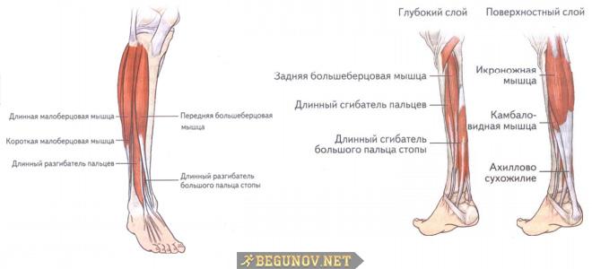 Мышцы голени и стопы